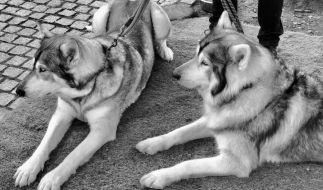 """So haben wir Odin und Thron, die beiden """"Game of Thrones""""-Schattenwölfe, kennengelernt. (Foto)"""