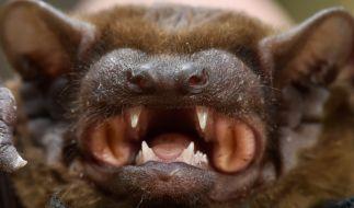 Wie kam es zum mysteriösen Sterben der Fledermäuse? (Foto)