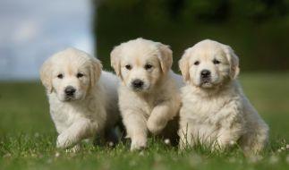 Hunde werden in Großbritannien ausgebildet um das Coronavirus zu erschnüffeln. (Symbolfoto) (Foto)