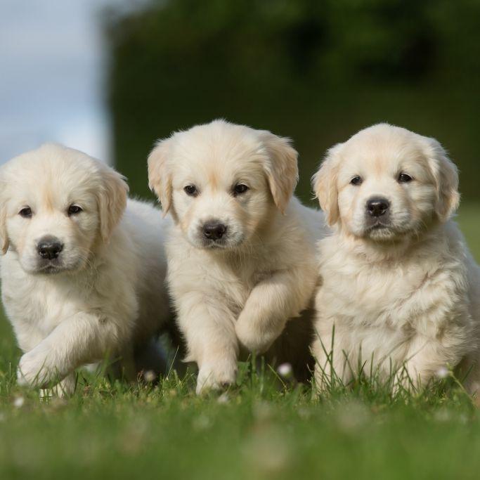 Tester auf vier Beinen? Hunde sollen Covid-19-Infizierte erschnüffeln (Foto)