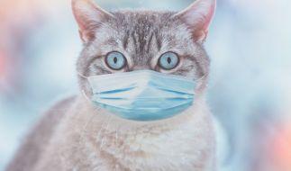 In Belgien wurde erstmals eine Katze positiv auf das Coroavirus getestet. (Foto)