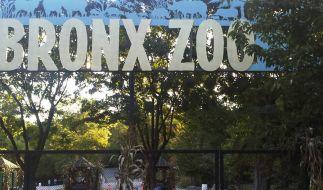 Im Bronx Zoo in New York ist das Coronavirus bei einem Tiger nachgewiesen worden. (Foto)
