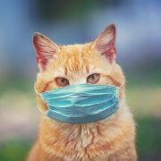 Angst vor Covid-19-Ansteckung! Virus in Katzen nachgewiesen (Foto)
