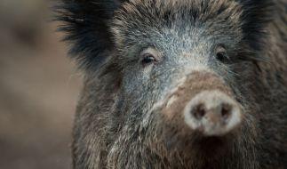 In Indien wurde ein Junge (4) von einer Horde Schweine zerfleischt. (Foto)