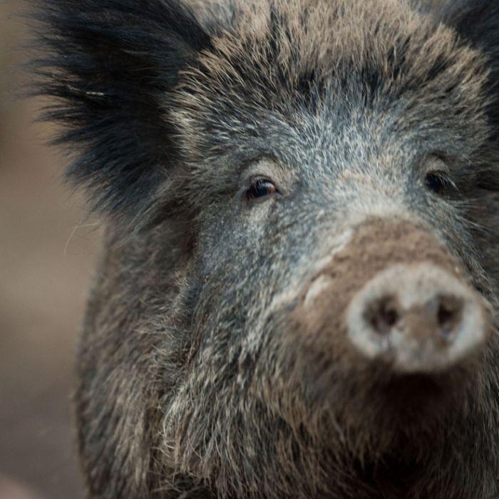 Schweine zerfleischen Jungen (4) bis zum Tod (Foto)