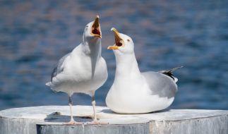 Möwen können recht aggressiv werden, wenn es um die Erschließung von Nahrungsquellen geht. (Foto)