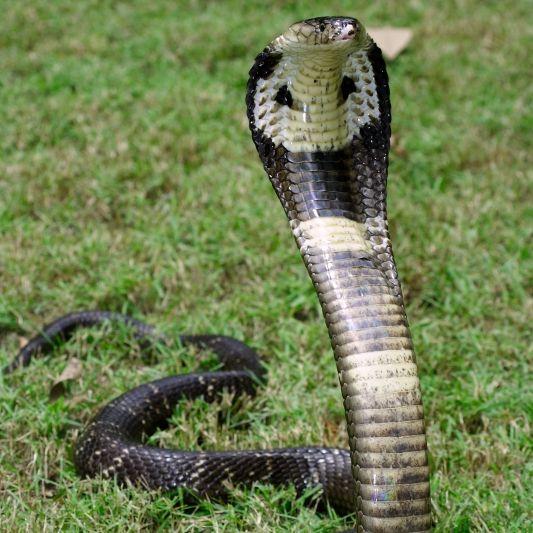 Trotz Gegengift! Schlangenbeschwörer stirbt an Kobrabiss (Foto)