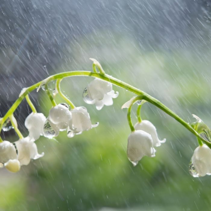 Regen, Nachtfrost und Co.! Fällt der Wonnemonat ins Wasser? (Foto)