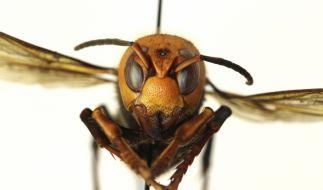 Die Stiche einer asiatischen Riesenhornisse (Vespa mandarina) können für den Menschen tödlich sein. (Foto)