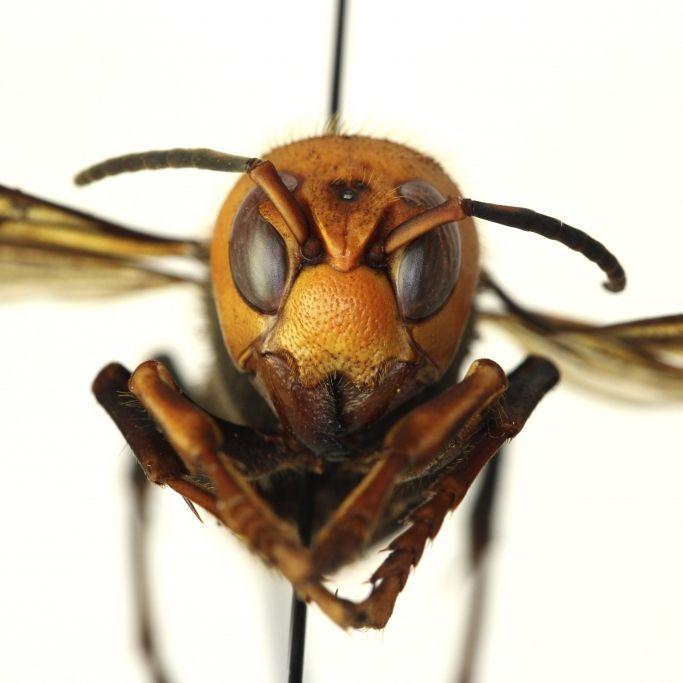 Killerwespe im Anflug! 5-Zentimeter-Insekten können Menschen töten (Foto)