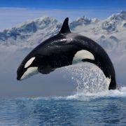 Blutiger Tod! Orca-Wale zerfleischten ihre Trainer (Foto)