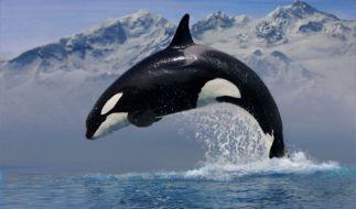 Vom einen auf den anderen Tag drehte der Killerwal Keto durch und brachte seinen Trainer um. (Foto)