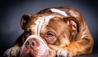 Ein fünf Jahre altes Kind ist von einem Old English Bulldog schwer verletzt worden (Symbolbild). (Foto)