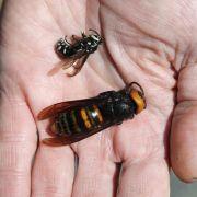 Riesiges Killer-Insekt tötet Imker (54) in Spanien (Foto)