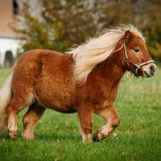 Altes gebrechliches Pony gefesselt und vergewaltigt (Foto)