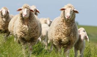 Droht in diesem Jahr die Schafskälte? (Foto)