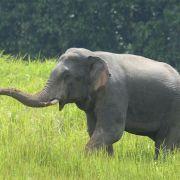 Schwangere Elefantenkuh mit explosiver Ananas gefüttert - tot! (Foto)
