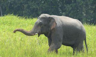 Eine trächtige Elefantenkuh wurde mit einer explosiven Ananas gefüttert. (Foto)