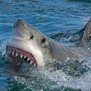 Surferstirbt bei Hai-Angriff! Freunde schlagen Bestie in die Flucht (Foto)