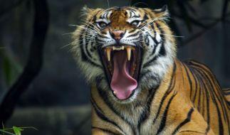 Ein wild lebender Tiger drang in Indien immer wieder in Wohngebiete ein und zerfetzte insgesamt drei Menschen bei lebendigem Leib. (Foto)