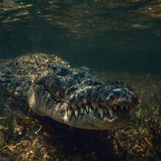 Schock-Video! Männer finden tote Frau in Krokodil (Foto)