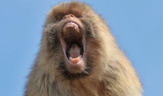 Ein alkoholsüchtiger Affe hat in Indien 250 Menschen verletzt und einen Mann getötet (Symbolbild). (Foto)