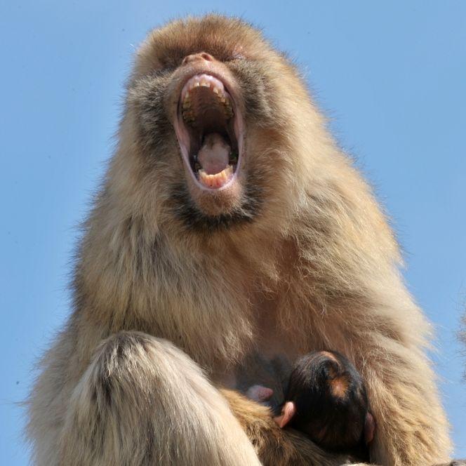 Alkoholsüchtiger Affe tötet Mann und verletzt 250 Menschen (Foto)