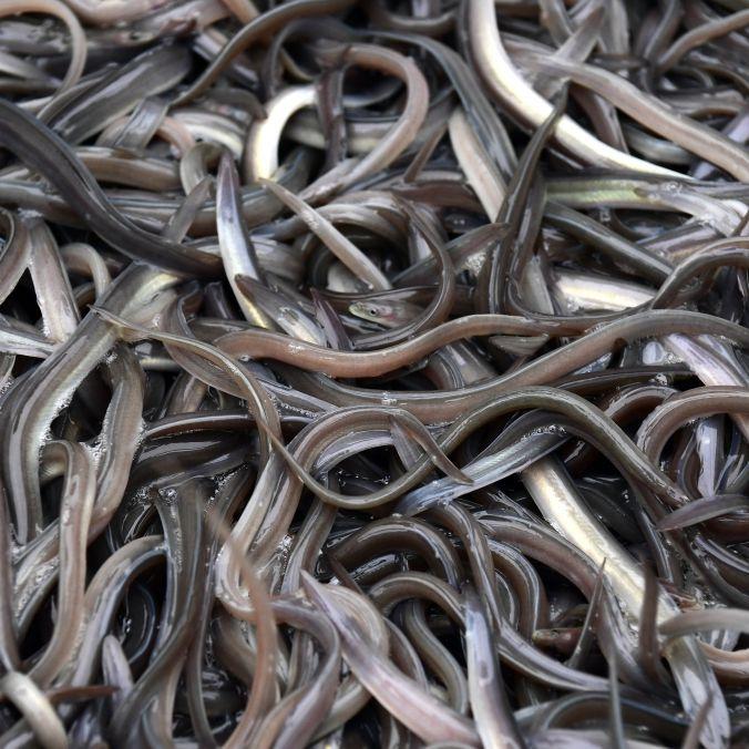 Darm gerissen! Chinese stopft sich lebenden Aal in den Hintern (Foto)