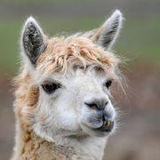 Studien-Durchbruch! Verhindern Alpakas eine zweite Corona-Welle? (Foto)