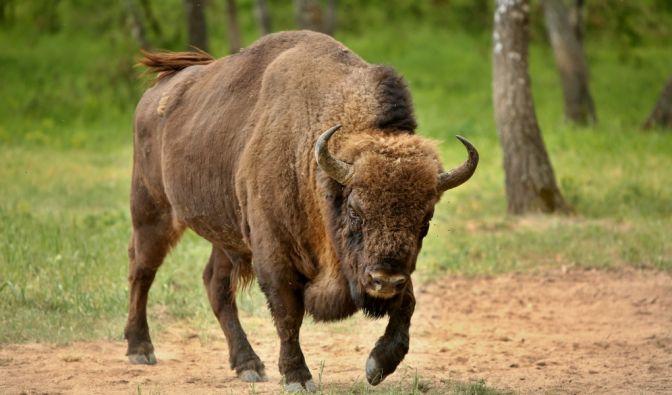 Tierattacke im Yellowstone Nationalpark