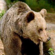 Braunbär zerfleischt Zweifach-Mutter (39) (Foto)