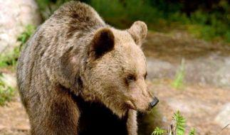 Ein Braunbär soll in Russland den Tod einer 39-jährigen Frau verursacht haben (Symbolfoto). (Foto)