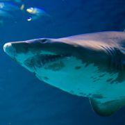 Frau (29) bei Hai-Angriff schwer verletzt (Foto)