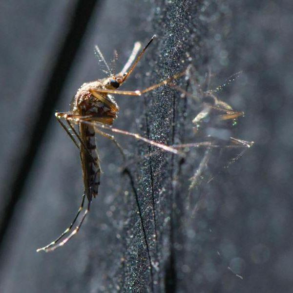 Mücken-Horror im Sommer! So gefährlich sind die Insekten wirklich (Foto)
