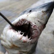 Weißer Hai zerfleischt Schwimmerin - TOT (Foto)