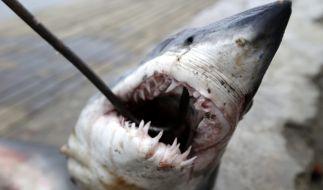 Vor der Nordostküste der USA ist eine Schwimmerin anscheinend von einem Hai getötet worden. (Foto)