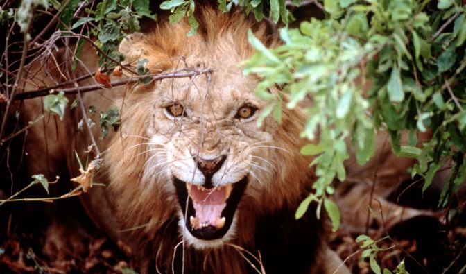 Löwen-Attacke in Tansania