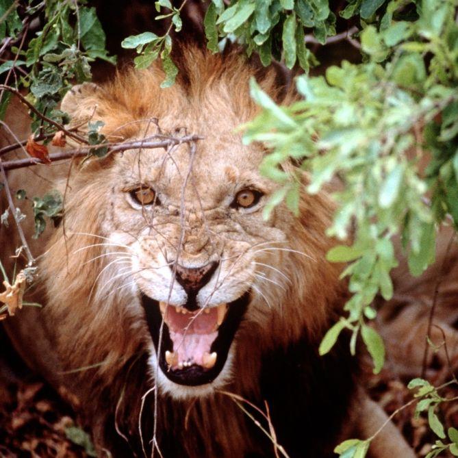 Raubkatze beißt Safari-Gast (64) Arm ab (Foto)