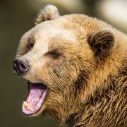 Junge (11) in Ferienresort von Bären zerfleischt (Foto)