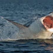 Surferin attackiert! Mann verprügelt Weißen Hai (Foto)