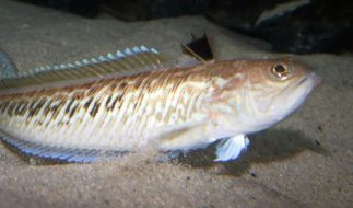 Die 15 bis 50 Zentimeter langen Petermännchen haben einen giftigen Stacheln. Werden die Fische gestört, setzen sie sich damit zur Wehr. (Foto)