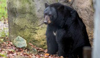 In Kanada hat ein Schwarzbär eine 44-jährige Mutter tödlich verletzt. (Foto)