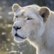 Löwinnen zerfleischen 69-Jährigen beim Morgenspaziergang (Foto)