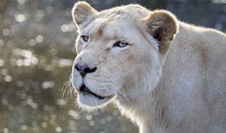 In Südafrika wurde ein Mann von zwei seiner Löwinnen zerfleischt. (Foto)