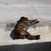 Hunde-Welpe (6 Monate) zu Tode vergewaltigt (Foto)