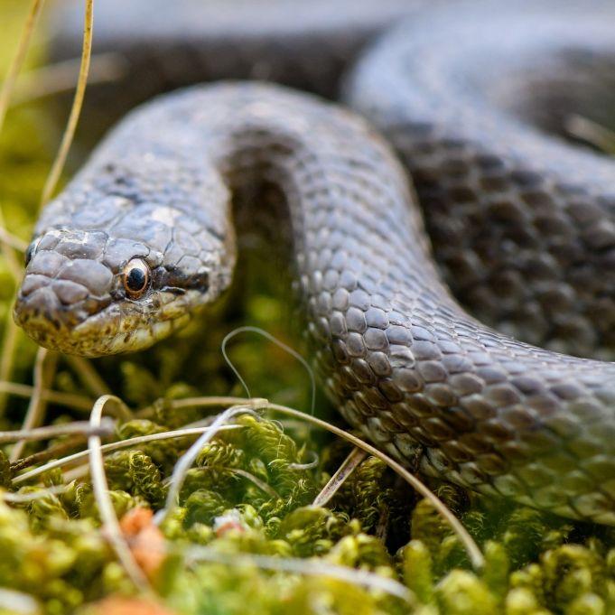 Würg! Ärzte entfernen gigantische Schlange aus Hals von Frau (Foto)