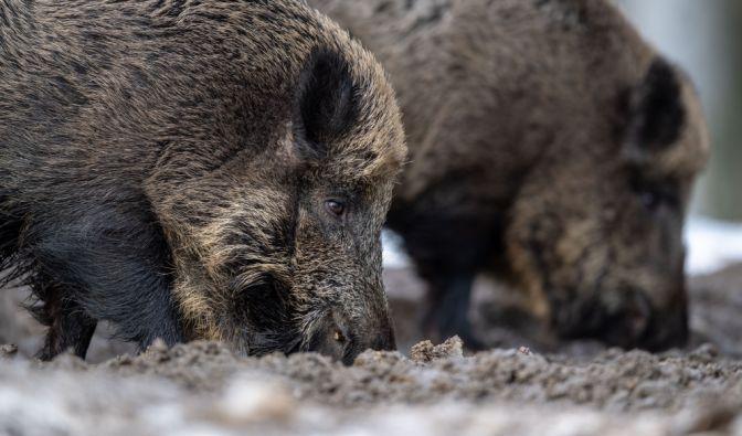 Afrikanische Schweinepest in Brandenburg