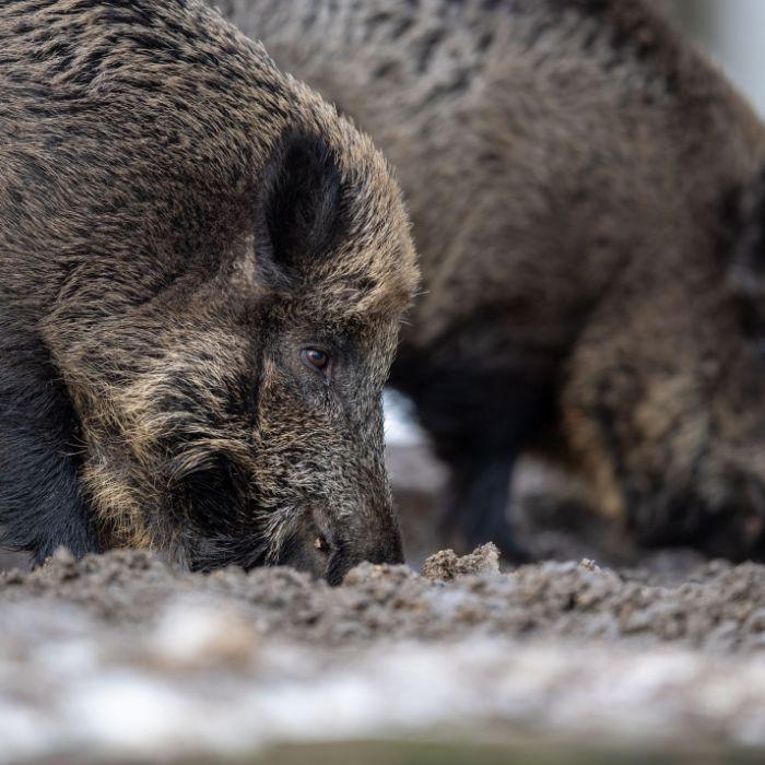 Neue Seuche in Deutschland! Infiziertes Wildschwein gefunden (Foto)