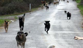 Mehrere Hunde haben in Mexiko einen Mann attackiert. (Foto)