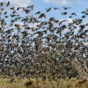 Apokalypse? Hunderttausende Vögel fallen tot vom Himmel (Foto)